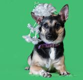 Funny dog mongrel with a bow on his head on green background. Funny dog mongrel with a bow on his head on a green background Royalty Free Stock Photos