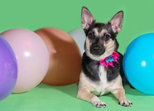 Funny dog mongrel with a bow on his neck among balloons on green background. Funny dog mongrel with a bow on his neck among balloons on a green background Royalty Free Stock Image