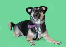 Funny dog mongrel with cat`s toy ears on green background. Funny dog mongrel with cat`s toy ears on a green background Royalty Free Stock Image