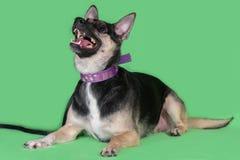 Funny dog mongrel on green background. Funny dog mongrel on a green background Royalty Free Stock Image