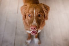 Funny dog, Nova Scotia Duck Tolling Retriever happy look, red hair, wet pink nose Royalty Free Stock Photos