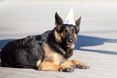 Funny dog with party hat celebrate his birthday.  royalty free stock images
