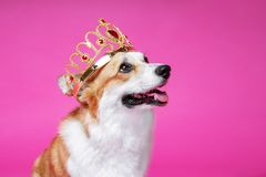 Funny dog pembroke welsh corgi in the crown, like a king, a prince on a pink studio background royalty free stock photo