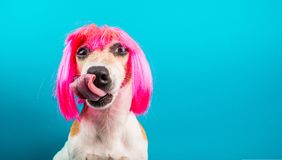 Funny dog in pink wig. waiting for a delicious meal foog licking. Blue background. Funny dog in pink wig. waiting for a delicious meal licking. Blue background stock photo
