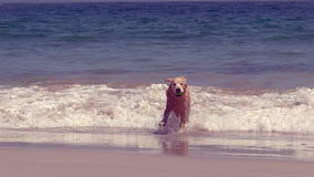 Funny dog playing with ball. On the beach stock footage