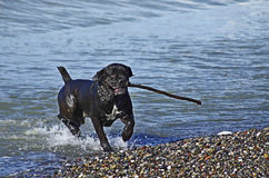 Funny dog playing on the beach Stock Images