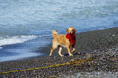 Funny dog playing on the beach royalty free stock photography