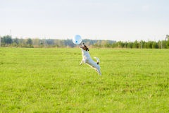 Funny dog playing with blue balloon springs into action at field Royalty Free Stock Photos