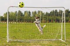 Funny dog playing football as a goalkeeper Stock Photos