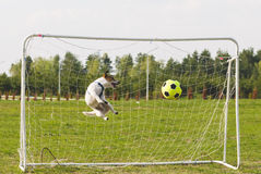 Funny dog playing football as a goalkeeper Stock Images