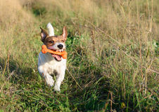 Funny dog playing with a toy at summer meadow Royalty Free Stock Photography