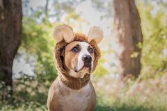 Funny dog portrait in bear hat photographed outdoors. Cute staff. Ordshire terrier sits in wild animal costume in sunny meadow stock images