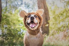 Funny dog portrait in bear hat photographed outdoors. Happy smiling staffordshire terrier sits in wild animal costume in sunny me. Adow royalty free stock images