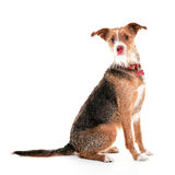 Funny dog portrait in white studio Stock Images