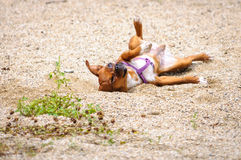 Funny Chihuahua Dog Chiwawa posture Stock Images