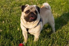 A funny dog pug mops brings happy over the meadow with a red ball stock images
