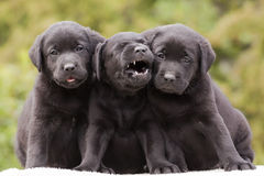 Funny dog puppies Stock Image