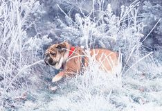 Funny dog of red and black english bulldog playing in snow bush stock photo