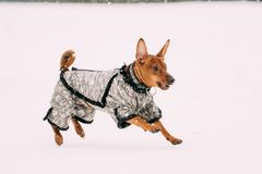 Funny Dog Red Brown Miniature Pinscher Pincher Min Pin Playing. And Running Outdoor In Snow, Winter Season. Playful Pets Outdoors Stock Photos