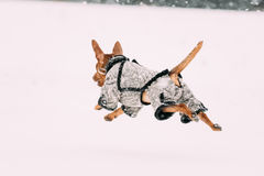 Funny Dog Red Brown Miniature Pinscher Pincher Min Pin Playing A Royalty Free Stock Photos