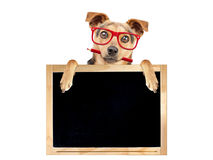 Funny dog red glasses pencil behind blank blackboard isolated. Funny dog wearing red glasses and holding pencil behind blank blackboard isolated royalty free stock photos