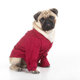 Funny dog in red. Royalty Free Stock Photography