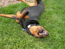 Funny Dog Rolling in Grass Royalty Free Stock Photography