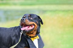 Funny dog Rottweiler with a beautiful shirt, collar smiling in the summer on a green background. On the side there is a place fo. R inscription, copyspace royalty free stock image