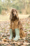 Funny dog in wellington boots. Funny Irish Setter dog wearing wellington boots royalty free stock images