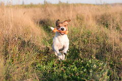 Funny dog running through field with bone. Jack Russell Terrier pet playing at a field Stock Photos