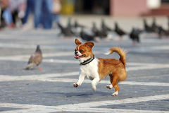 Funny dog running. A dog runs with funny facial expression Stock Photos