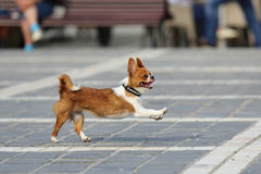 Funny dog running. A dog runs with funny facial expression Stock Image