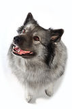 Funny Dog. A funny and sassy dog keeshond on white background royalty free stock photo