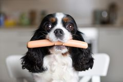 Dog with sausage Stock Photography