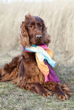Funny dog with scarf Royalty Free Stock Images