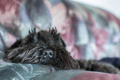Funny dog schnauzer tired and lying on the sofa, close-up nose visible Royalty Free Stock Photos