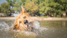 Funny dog shaking off Royalty Free Stock Image