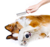 Funny dog. Showing fear of grooming royalty free stock photos