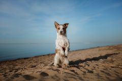 Funny dog sits on the sand on the beach. Summer and travel. Funny dog Jack Russell Terrier on the sand on the beach. Summer and travel Royalty Free Stock Image