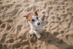 Funny dog sits on the sand on the beach. Summer and travel. Funny dog Jack Russell Terrier on the sand on the beach. Summer and travel Royalty Free Stock Images