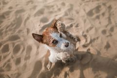 Funny dog sits on the sand on the beach. Summer and travel. Funny dog Jack Russell Terrier on the sand on the beach. Summer and travel Stock Photography