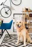 Funny dog sitting oncarpet. On floor stock photos