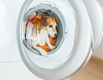 A funny dog is sitting in the washing machine. Best Laundry and dry cleaning pet service Stock Photos