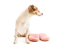 Funny dog and slippers Stock Images