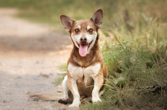 Funny dog smiling and sitting on grass Stock Photography
