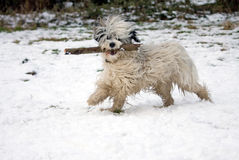 Funny dog in snow. Happy and lively Tibetan Terrier running in the snow with a large stick in his mouth Royalty Free Stock Photos