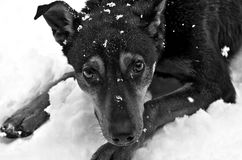 A funny dog in the snow, puts his paws forward and everything in the snow royalty free stock photography