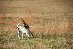 Funny dog with stick. Fox-terrier Dog Plays With Stick Royalty Free Stock Photo