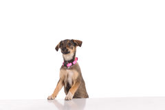 Funny dog in the studio Royalty Free Stock Photos
