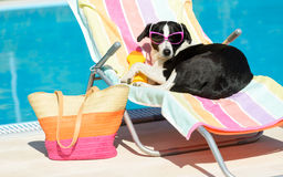 Funny dog sunbathing on summer. Funny female dog sunbathing on summer vacation wearing sunglasses. Pet relaxing on a hammock at swimming pool Stock Image
